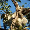 Mother and baby koalas in a eucalyptus tree on Magnetic Island