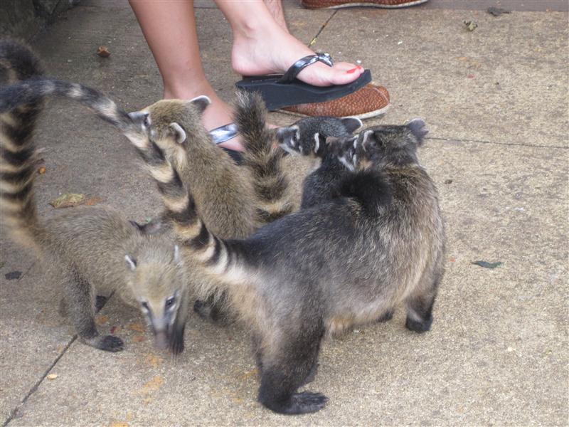 Baby raccoon things