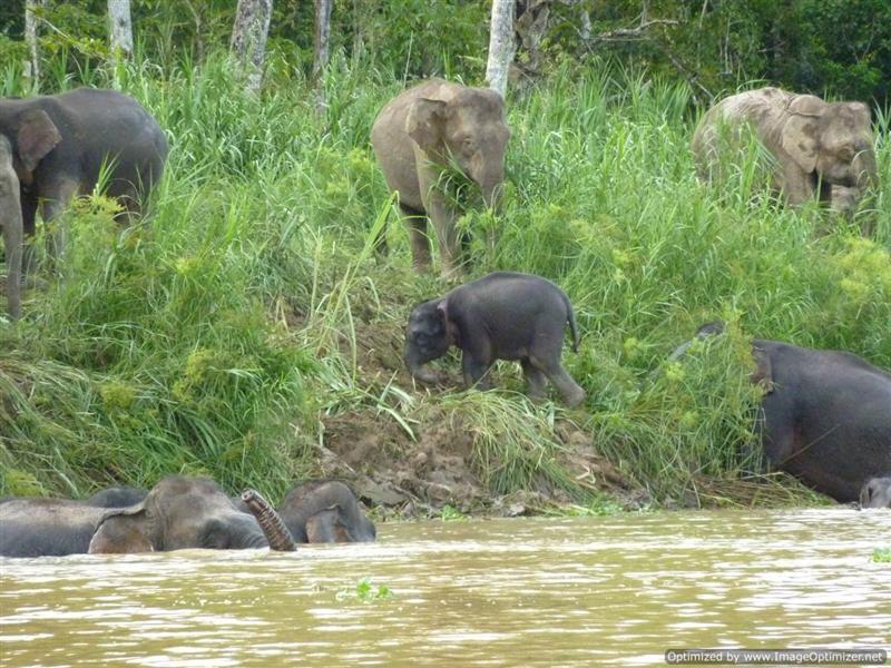 Kinabatangan River - Cute Baby Pigmy Elephant!