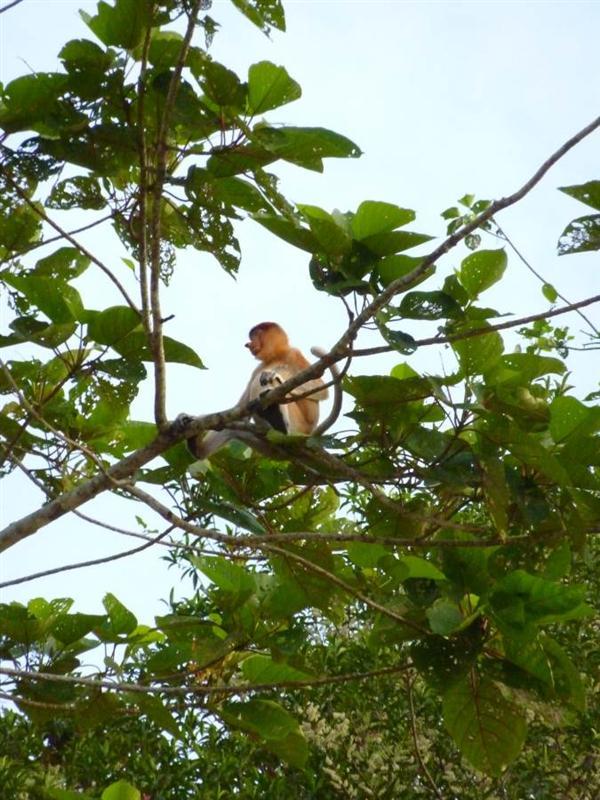 Kinabatangan River - Proboscis monkey