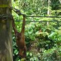 Sepilok - Orang-Utan hanging around
