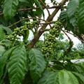 Dalat  - Coffee growing
