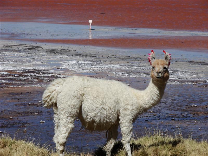 Alpaca and flamingo