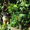 Cheeky squirrel monkeys