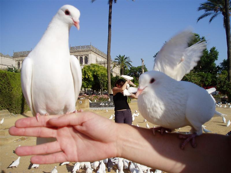 Pretty Albino Pigeons with Estelle getting attacked in the background