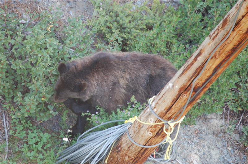 Mummy Grizzly, cub nearby