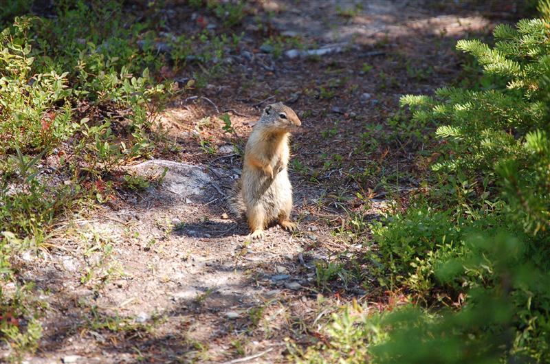 Hoary Marmot at top