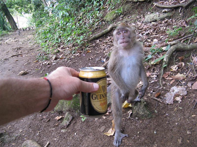 Monkeys like Guinness too!