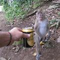 Monkeys like Guinness too!