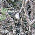 A Mangrove Kingfisher!