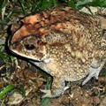The huge toad