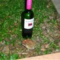A wine bottle put behind the toad to show just how big it was