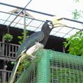 A big hornbill