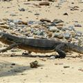 Monitor Lizard on the Beach eating something