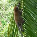 A monkey climbing a palm tree