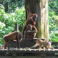 Orangutans scared of the monkeys