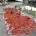 Locals drying chillis which are the pigeon's dinner