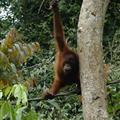 Orangutans at Sepilok