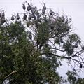 Flying foxes in the Botanic Gardens