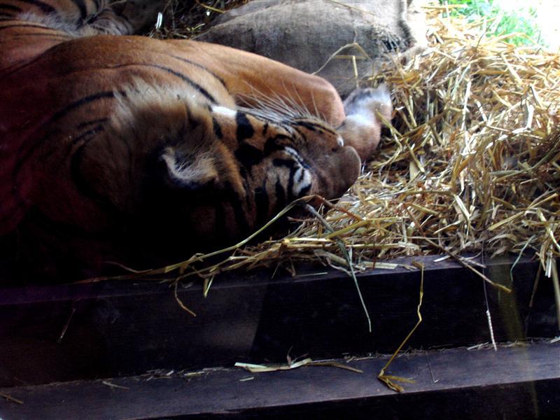 TIGER at the London Zoo.