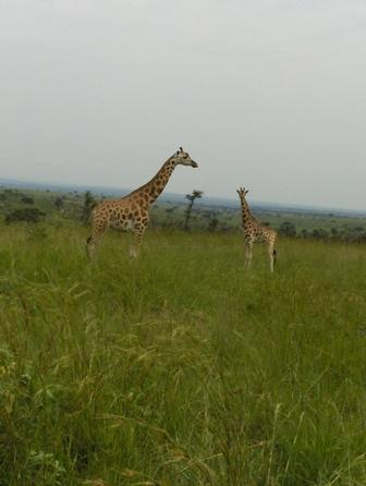 Giraffes in Murchison falls NP