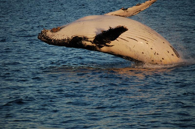A humpback breaching. Copyright Rick Johnson, 2007.