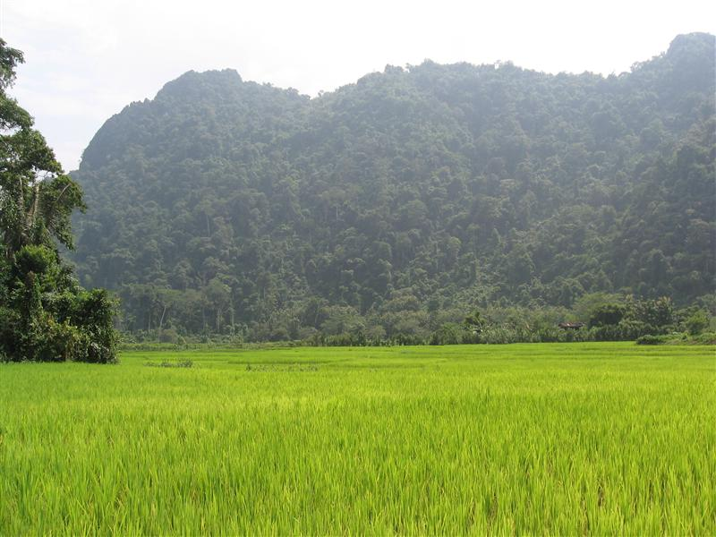 Rice fields and a mountain