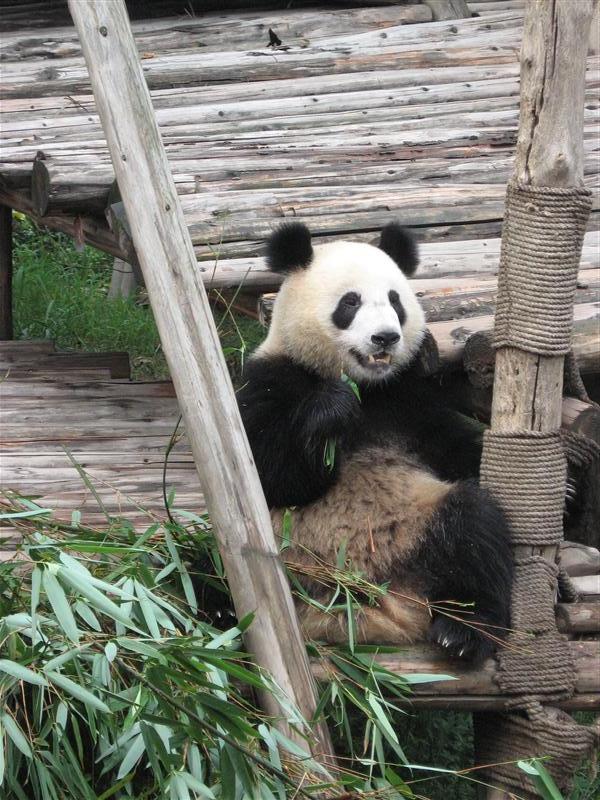 More panda action