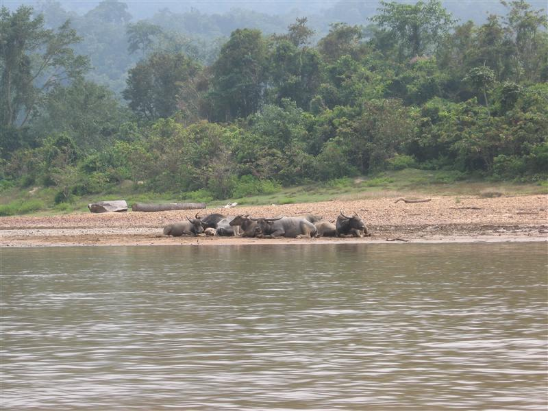 Water Buffalo in the jungle