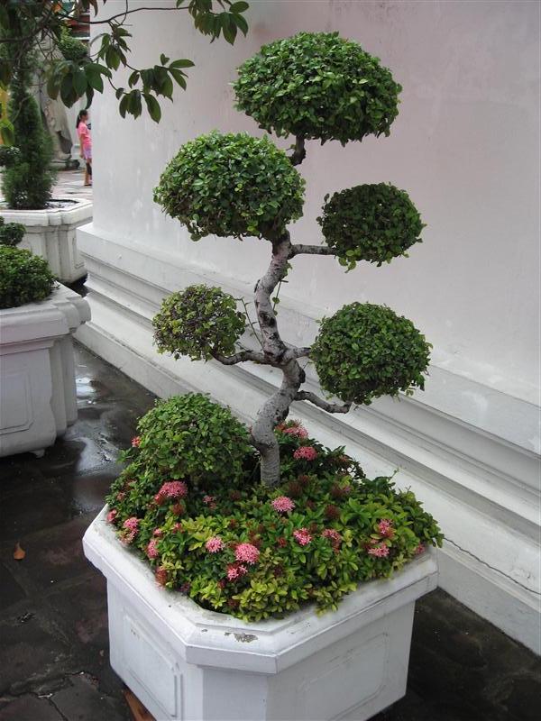 A little Bonsai tree