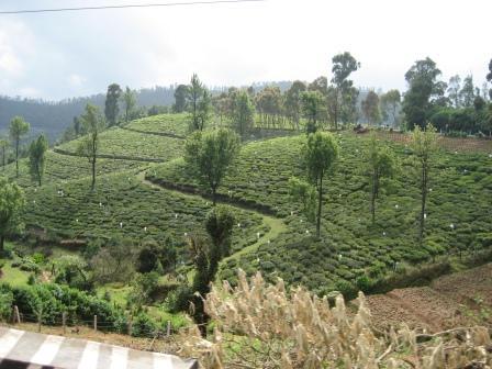 Teeplantagen soweit das Auge reich