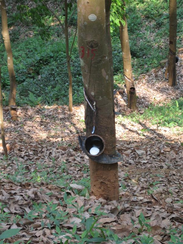 rubber tree including rubber
