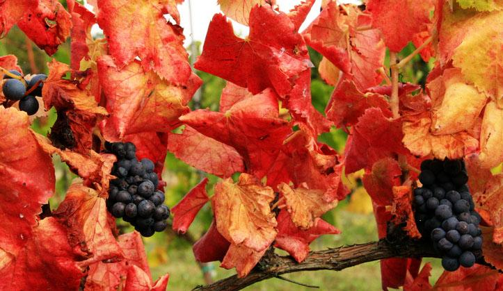 Autumns come to the vinyard