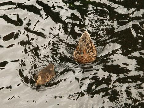 Momma and baby duck on Leith Walk