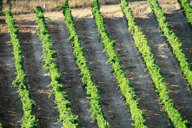A neighbors vinyard