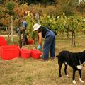 Harvest time, even the dogs help