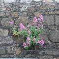 Dublin weeds