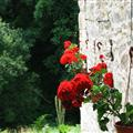 Pretty Geraniums