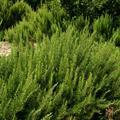 Rosemary at Trove