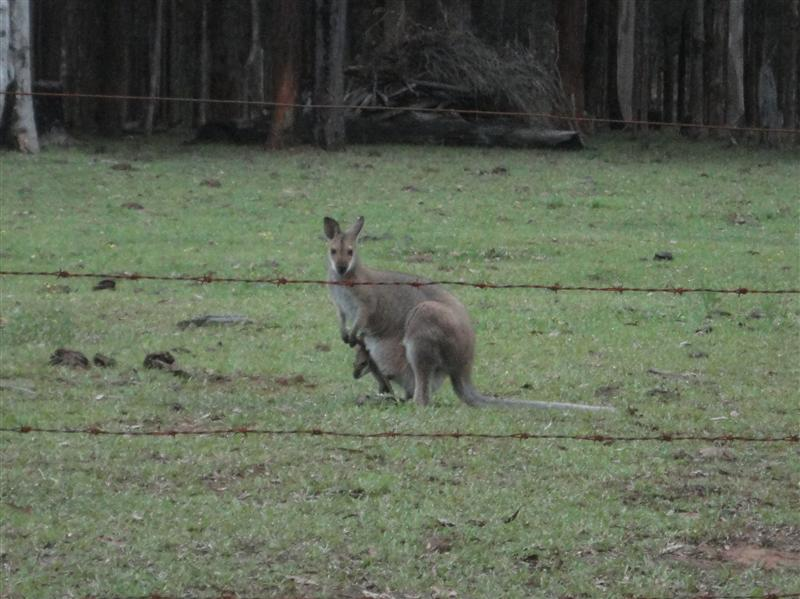 Premiers kangourous