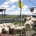 Lamb marking