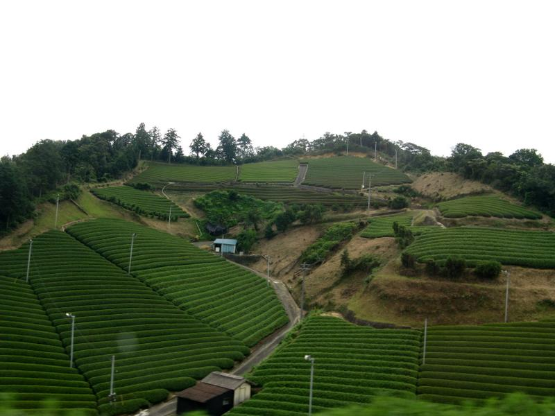 Green Tea Farms - with fans