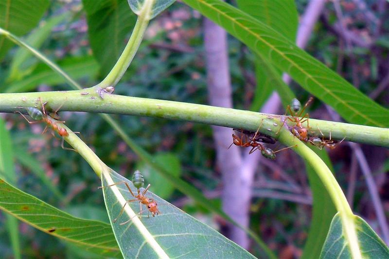 Green ants of Nitmiluk