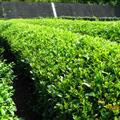 Green Tea Trees