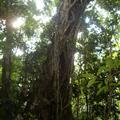 Strangler Fig