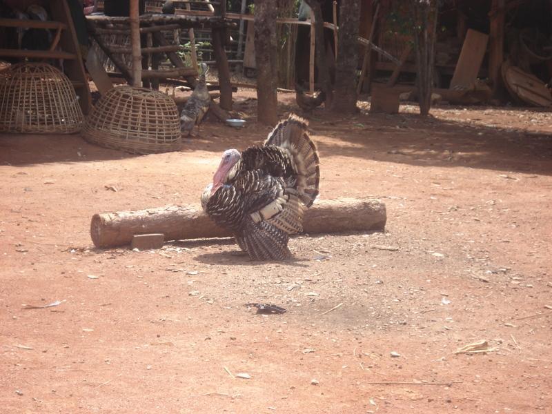 Turkeys are quite common in Laos