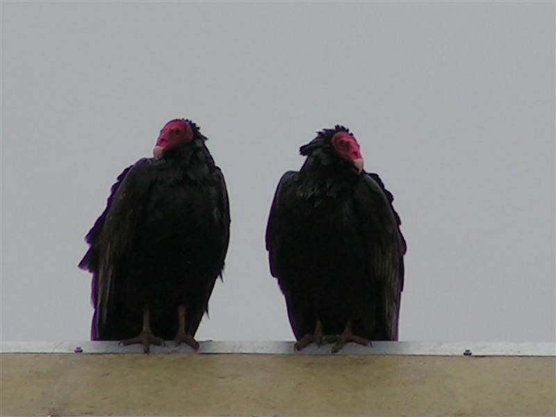 Vulturs in ancud