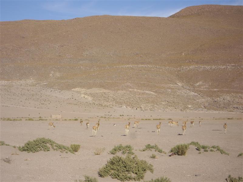 Manada de vicuñas