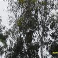 koalas inthe wild