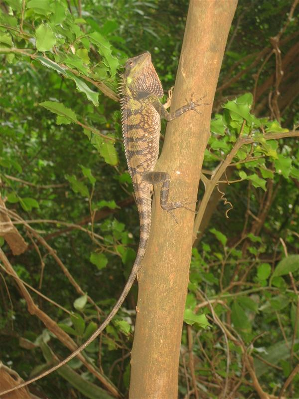 Large Lizard near Escher Wall in Railay